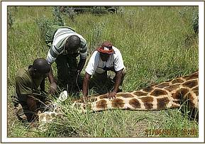 The vet reverses the anaesthetic and manually restrains the giraffe