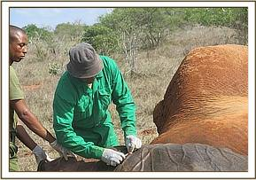 The vet administers antibiotics and prepares to wake the elephant