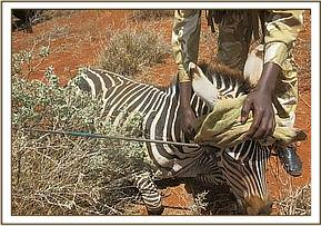 A zebra is left with a spear through its head from a poaching attempt