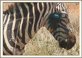 A follow up will be conducted on this zebra