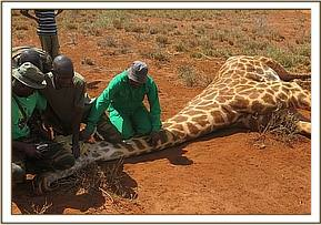 The giraffe is manually restrained during the operation