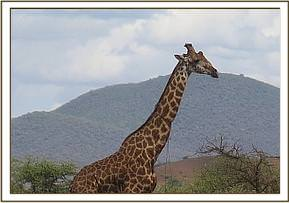A giraffe is seen with a tight snare around the neck