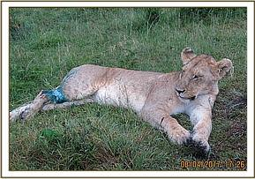 The lioness recovers from the anaesthetic