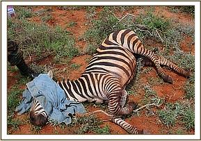 They had found that a Zebra was lying down and unable to walk and appeared in great pain