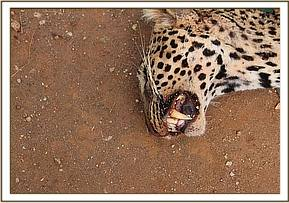 A report was made by the Ngutuni lodge manager of a sickly looking Leopard