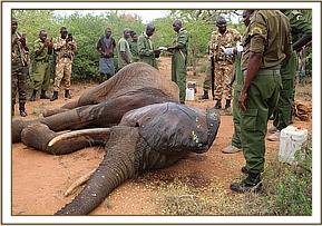 Examination revealed no external wounds but the elephant was in very poor body condition