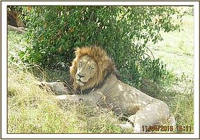 The lion recovering from his treatment