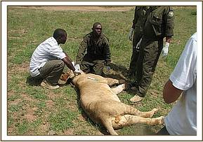 One of the sick lions was euthansed