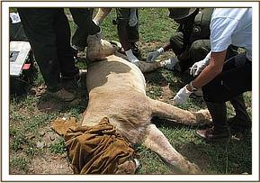 The sick lions are examined thoroughly