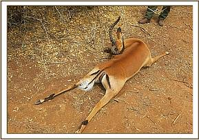 The vet team investigates mysterious deaths of Impala
