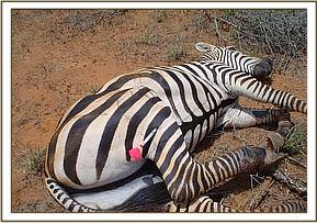 The zebra has gone down after being darted
