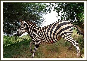 The zebra up and about after receiving the reversal drug