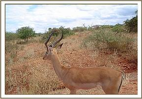 The impala after the snare was removed