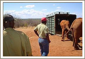 The elephants arrive at Ithumba and are off loaded