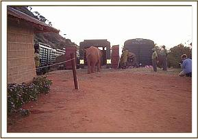 The elephants from Voi are loaded onto the truck