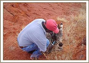 The foal is humanely put down as chances of survival are minimal