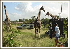 The fourth Giraffe arrives at Nguuni Nature Sanctuary