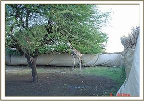 A Giraffe inside the Hessian material enclosure