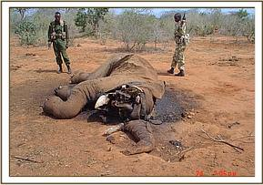 The tusks are missing from the remains of the elephant