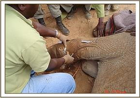 Dr. Ndeereh cleans the puncture wound
