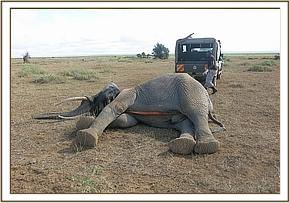 A vehicle is used to flip the elephant