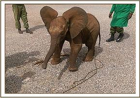 This little elephant is too young to survive without mothers milk