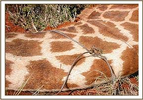 The wound on the giraffes neck that was caused by the snare