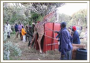 a giraffe being loaded onto the crate and transported to Marula ranch in Naivasha