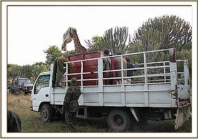 A giraffe being tansported to Marula ranch in Naivasha