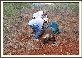 The immobilised waterbuck's head is covered