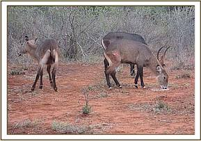 The lame waterbuck is darted