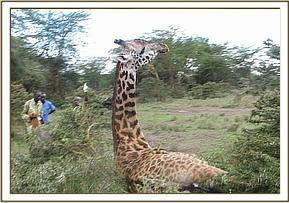 The giraffe wakes up after the revival drug is administered