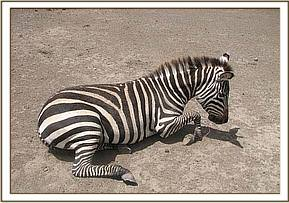 The snare around the zebras neck