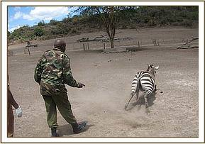 The zebra gets to its feet