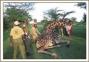 Helping the giraffe up after the revival drug is administered