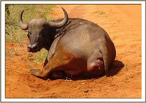 Female buffalo with a prolapsed vagina and cervix
