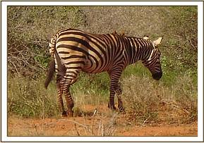 Zebra with injury on the upper medial side of the right hind leg