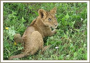 The young cub before capture