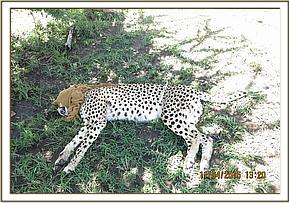 The cheetah is darted for collaring