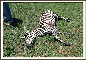 The wounds are too severe and the zebra is euthanasied