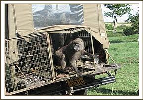 Baboons released after testing