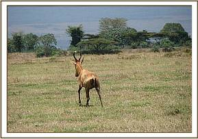 release of the Hartebeest after managing dystocia