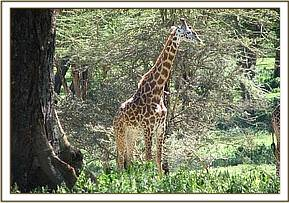 A young male giraffe is darted with a wire snare on his hind leg