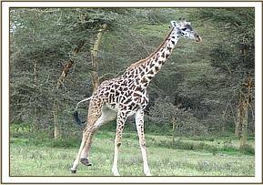 The young giraffe before the toenail was removed