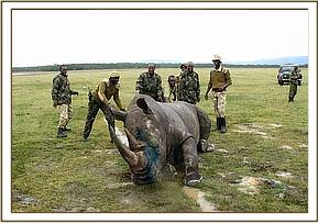 The treated White rhino after the revival drug is administered