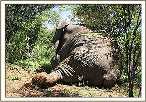 The elephant lying down after darting
