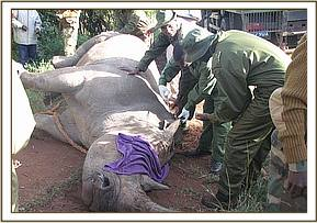The immobilized rhino having his ears notched