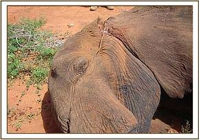 The snare can be seen cutting into the trunk and left ear