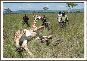 The giraffe gets to its feet after treatment