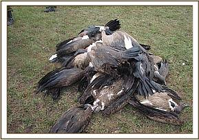 Pile of dead vultures